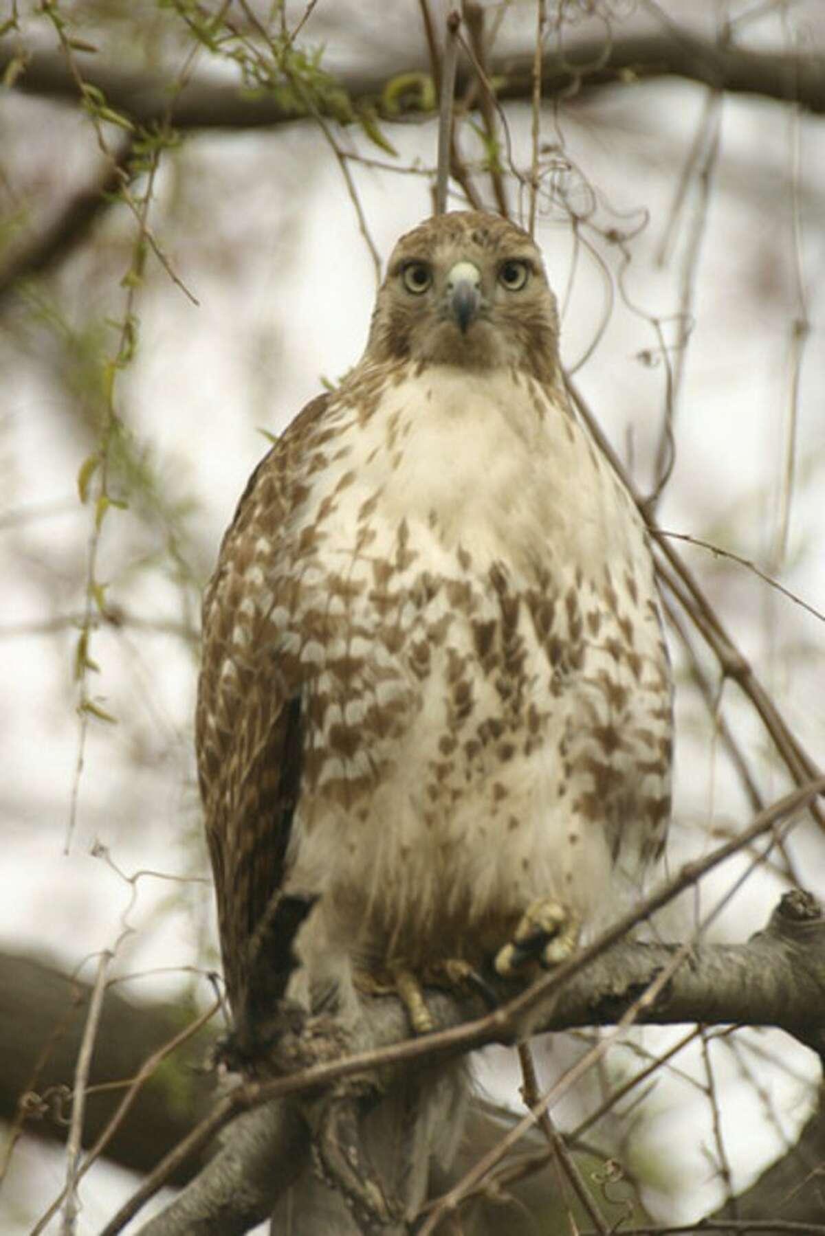 Photo by Chris Bosak Red-tailed hawk in Norwalk.