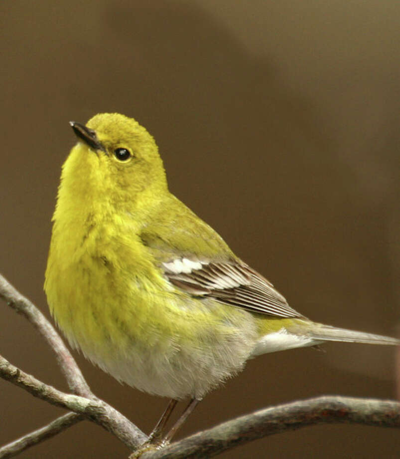 Photo by Chris BosakThe Pine Warbler is a yellow warbler, but it is not a Yellow Warbler.