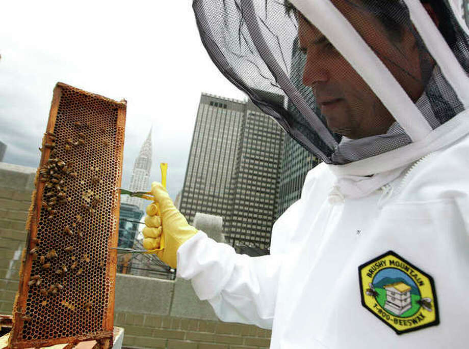 Waldorf Astoria hotel culinary director David Garcelon inspects honey bees from hives on the hotel's 20th floor roof in New York, Tuesday, June 5, 2012. The hotel, a favorite stopover for U.S. presidents, plans to harvest its own honey and help pollinate plants in the skyscraper-heavy heart of the city, joining a mini beekeeping boom that has taken over hotel rooftops from Paris to Times Square. (AP Photo/Kathy Willens) / AP