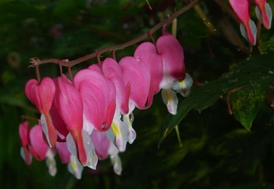 Bleeding Heart bloom in the butterfly garden in Ryan Park recently. Hour photo / Erik Trautmann