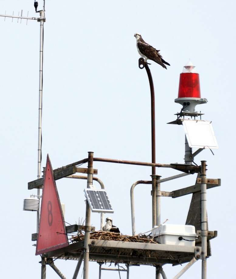 Photo by Chris Bosak An osprey pair nests on Channel Marker 8 off the coast of Norwalk.