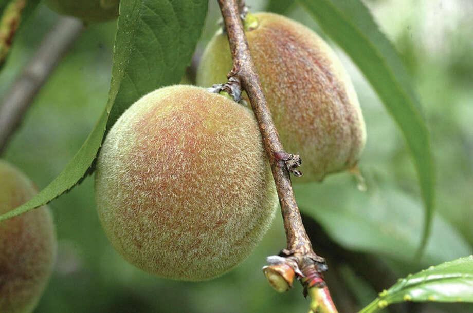 @Cutline Byline:Hour photos /Alex von KleydorffAbove, a peach tree bears fruit in Nick Mancini's organic garden. Below is an organic Frisse flower. / 2012 The Hour Newspapers