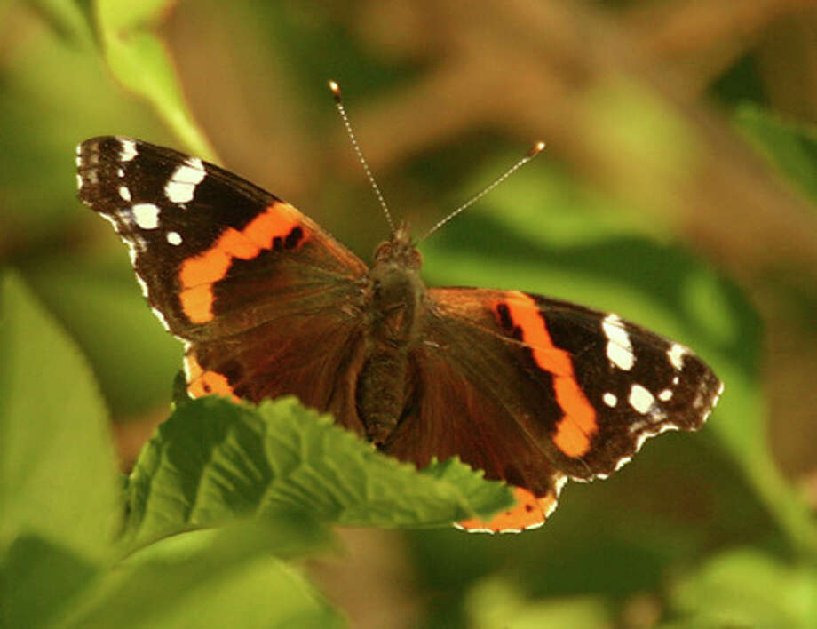 Photo by CHRIS BOSAKRed Admiral butterfly in Selleck's Woods earlier this spring.