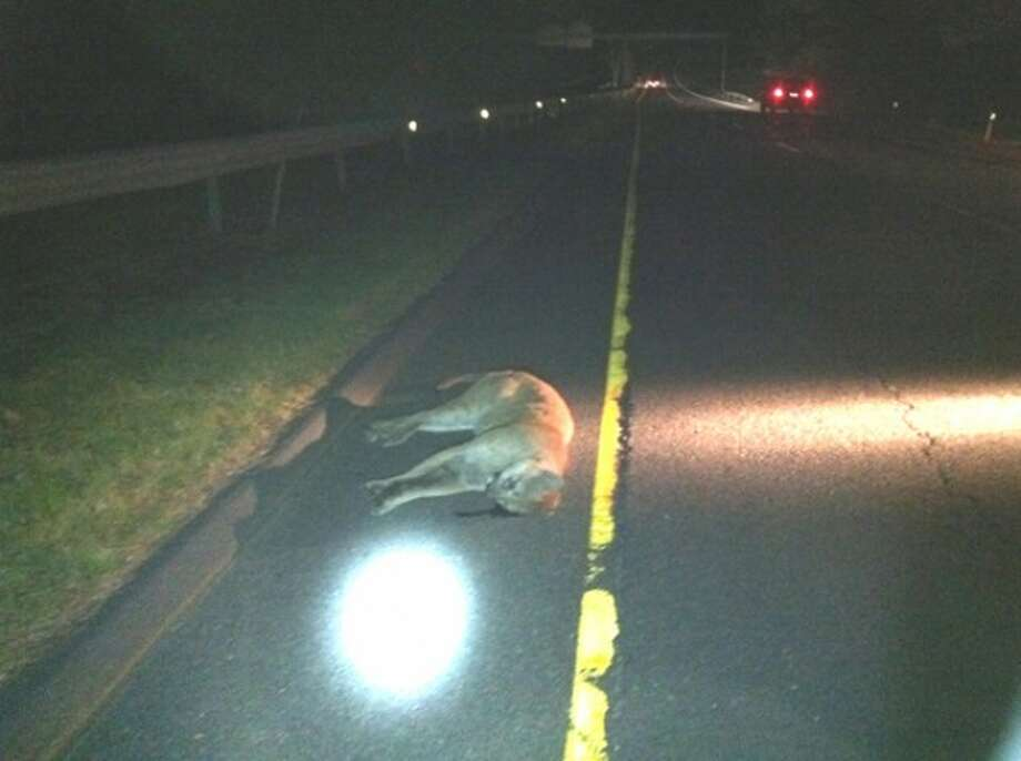 The Department of Environmental Protection believes this mountain lion struck by a motorist on Route 15 early Saturday morning is the same one spotted recently in Greenwich.