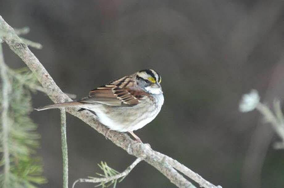 Photo by CHRIS BOSAK White-throated sparrows are regular visitors to New England bird feeders during the winter.