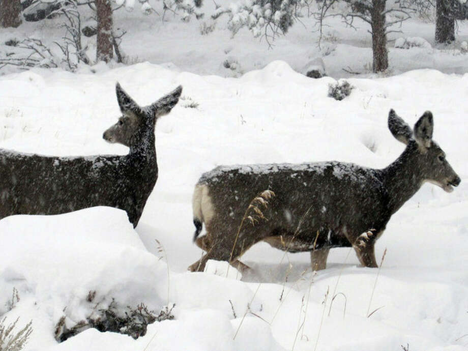 This image provided by the Rocky Mountain National Park, Colorado shows some wildlife inside the park Wednesday Oct. 26, 2011. A snowstorm moved in to the area on Tuesday night, dumping 12 to 16 inches of snow. (AP Photo/Rocky Mountain National Park) / Rocky Mountain National Park