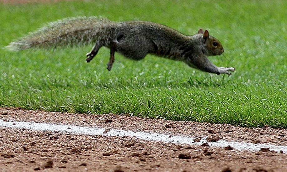 A squirrel leaps across the first base foul line during the ninth inning of a baseball game between the Cincinnati Reds and the New York Mets at Citi Field in New York, Sunday, June 17, 2012. The squirrel scampered into the Reds' dugout. (AP Photo/Kathy Willens) / AP