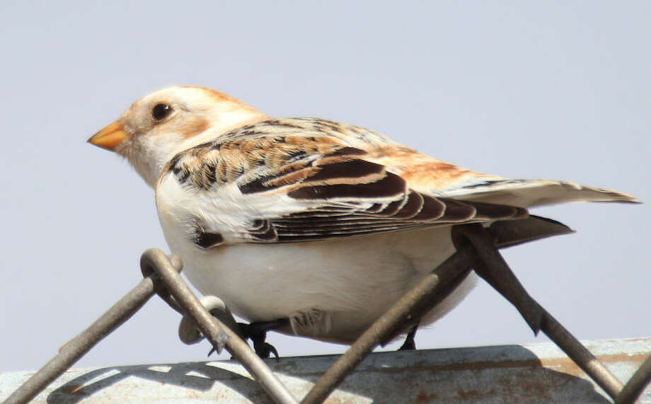Photo by Chris Bosak Snow Bunting at Norwalk's Calf Pasture Beach, March 26, 2013.