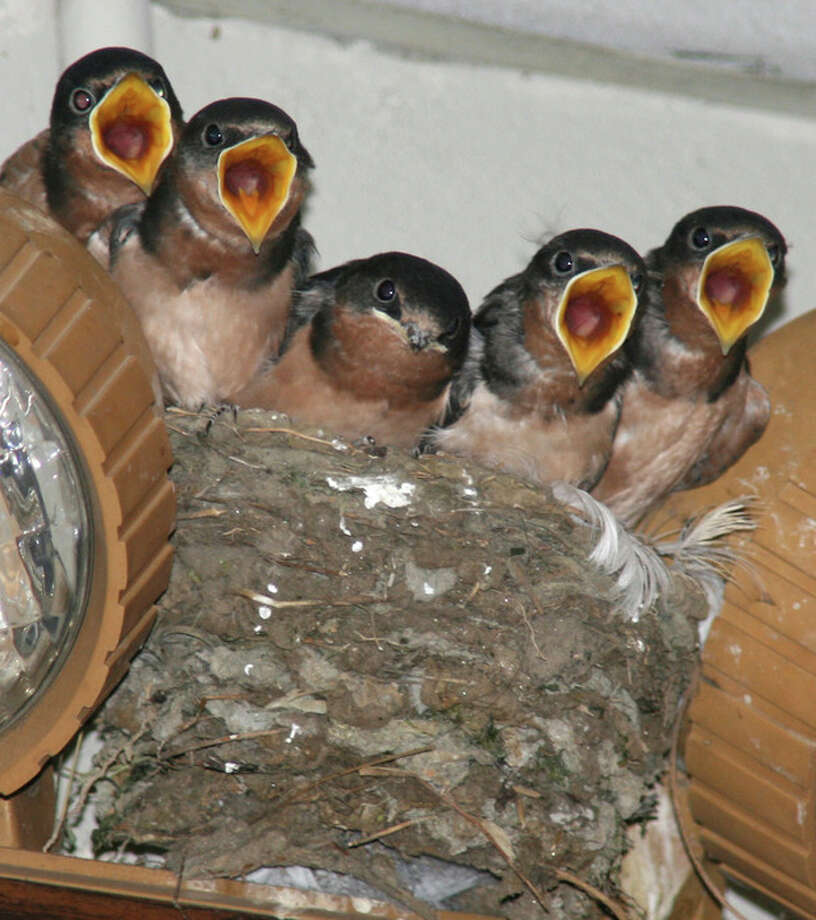 Photo by CHRIS BOSAKYoung Barn Swallows look for food from their mother, which is returning to the nest with food.