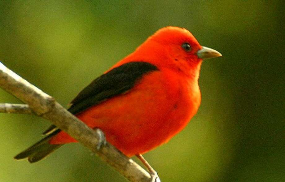 Photo by CHRIS BOSAK A scarlet tanager rests on a branch this spring.