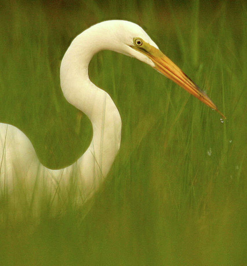 Photo by Chris BosakGreat Egret.