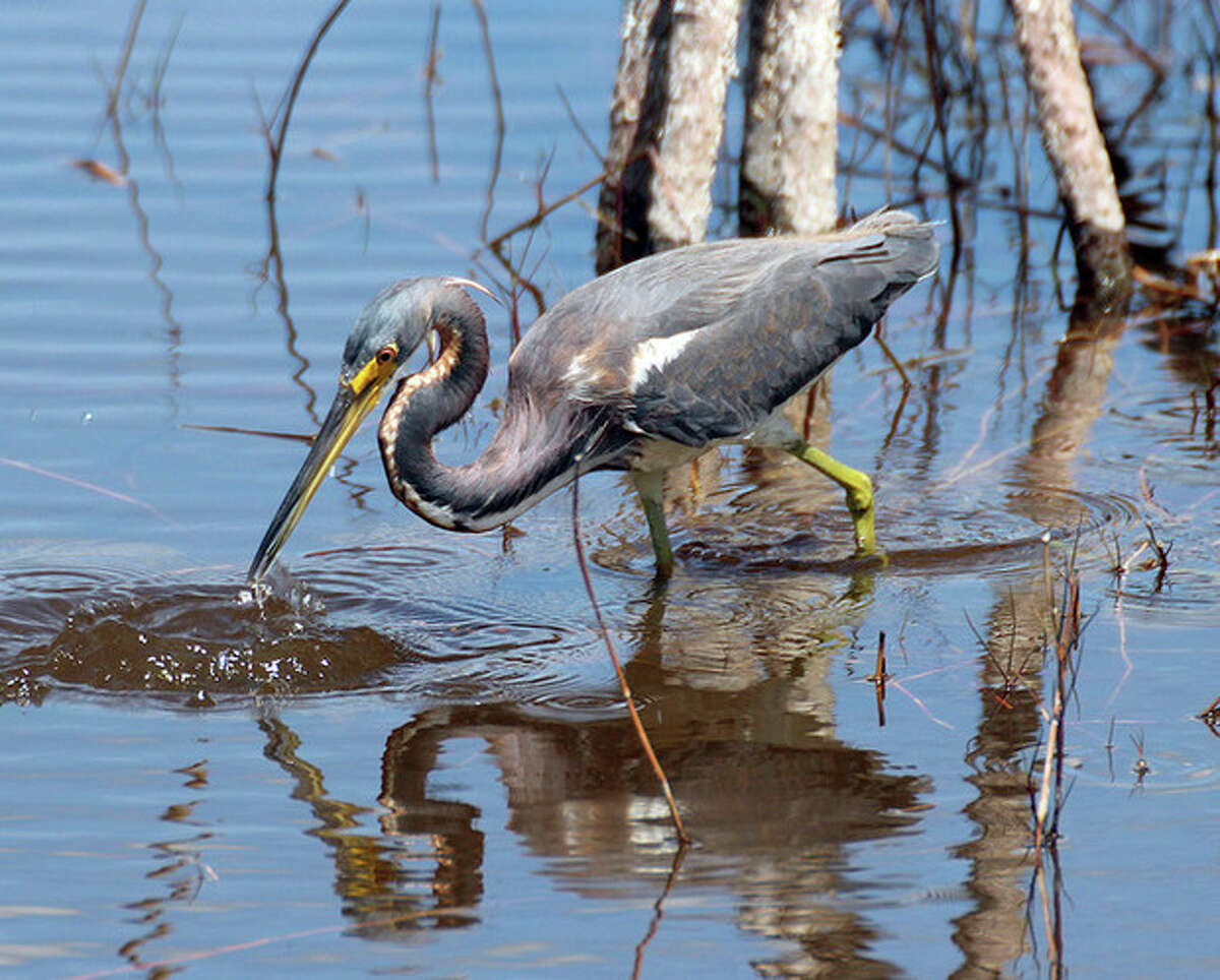 Photo by Chris Bosak Tri-colored Heron at 10,000 Islands NWR.
