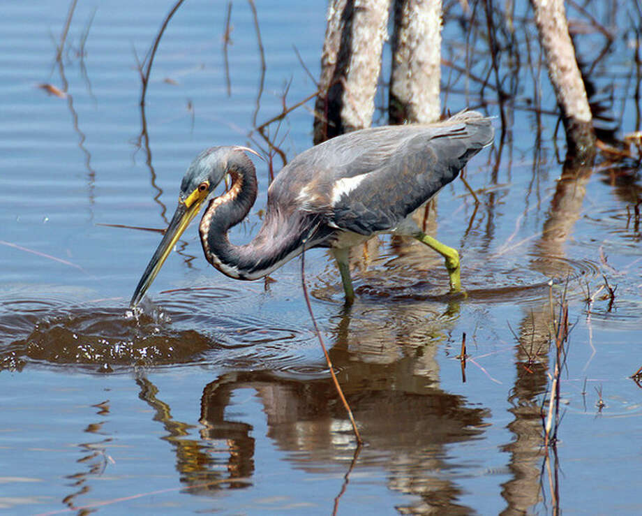 Photo by Chris BosakTri-colored Heron at 10,000 Islands NWR.