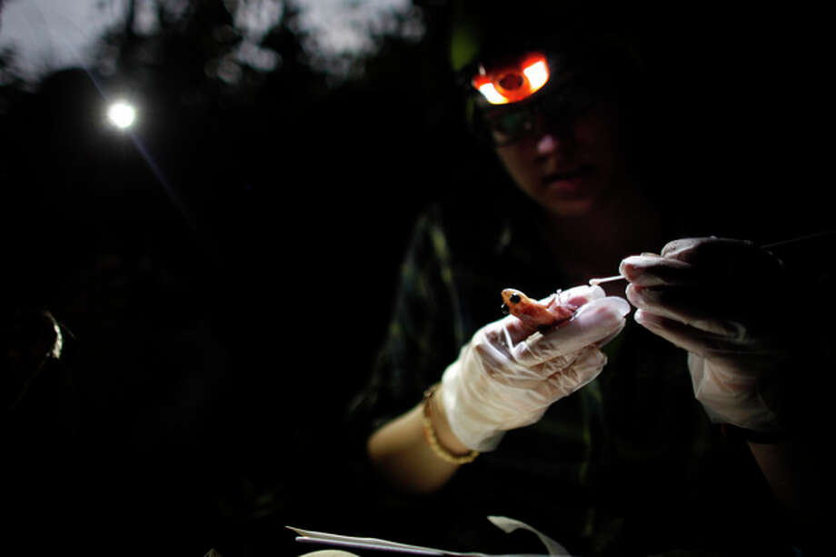 In this March 21, 2013 photo, Ana Longo, a researcher with Proyecto Coqui, takes samples from a Coqui Guajon or Rock Frog (Eleutherodactylus cooki) at a tropical forest in Patillas, Puerto Rico. A familiar sound is vanishing from the Caribbean night. The bird-like peeps and chirping of frogs are fainter across the region, a decline scientists say appears to be caused by a combination of climate change, a fungus that has been killing amphibians around the world, and habitat loss. It's a global problem, but worrisome in the Caribbean because the island geography means many species exist nowhere else on earth and the loss of frogs, a principal nocturnal predator of mosquitoes, may have severe consequences for humans. (AP Photo/Ricardo Arduengo) / AP
