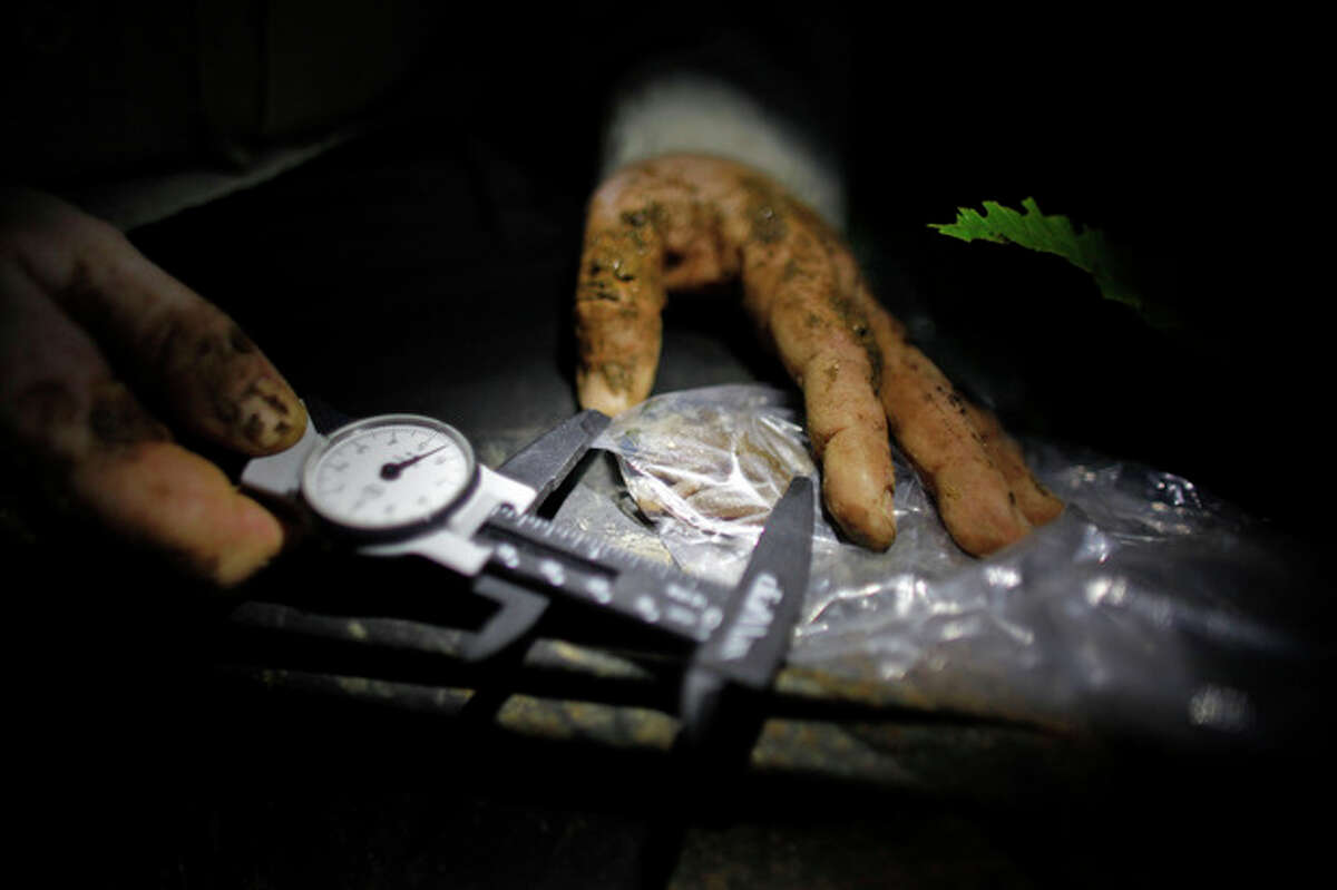 In this March 21, 2013 photo, Ana Longo, a researcher with Proyecto Coqui, takes measurements of a Coqui Guajon or Rock Frog (Eleutherodactylus cooki) at a tropical forest in Patillas, Puerto Rico. A familiar sound is vanishing from the Caribbean night. The bird-like peeps and chirping of frogs are fainter across the region, a decline scientists say appears to be caused by a combination of climate change, a fungus that has been killing amphibians around the world, and habitat loss. It's a global problem, but worrisome in the Caribbean because the island geography means many species exist nowhere else on earth and the loss of frogs, a principal nocturnal predator of mosquitoes, may have severe consequences for humans. (AP Photo/Ricardo Arduengo)