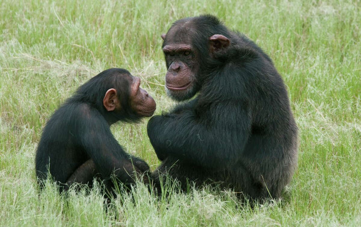 FILE - In this file photo taken Feb. 1, 2011, chimpanzees sit in an enclosure at the Chimpanzee Eden rehabilitation center, near Nelspruit, South Africa. An American anthropology student attacked by chimps he was studying in South Africa knew primate research was not without risks. But after having volunteered at the Jane Goodall Institute Chimpanzee Eden in the past, he was eager to pursue graduate research with abused and orphaned chimpanzees, The Associated Press reports Monday, July 2, 2012. (AP Photo/Erin Conway-Smith, File)