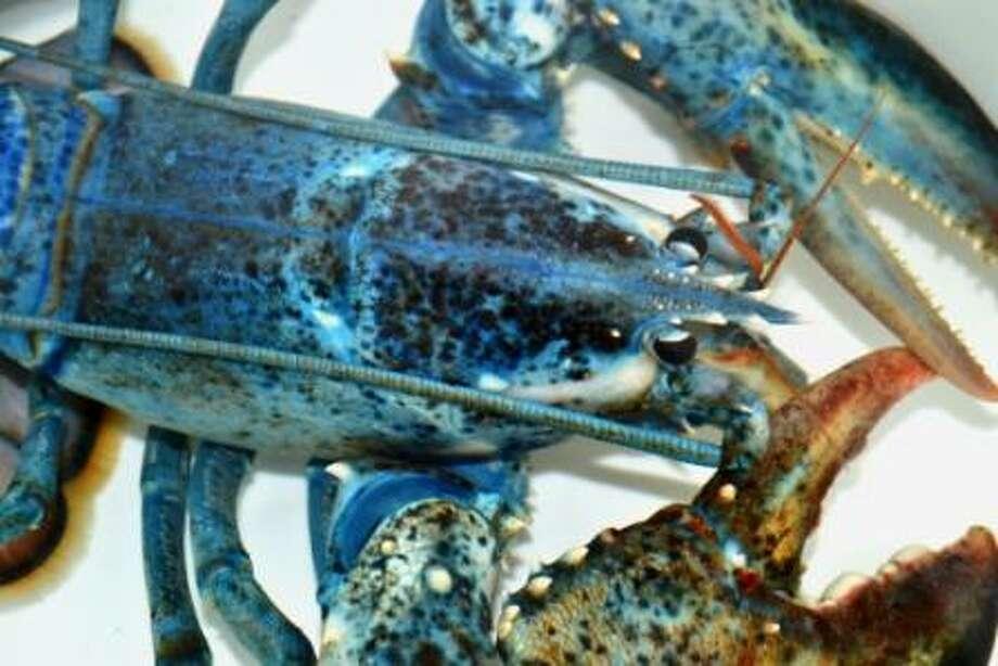 Blue lobster at National Aquarium in Washington, DC