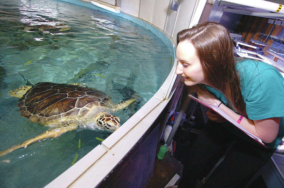 Hour Photo/Alex von Kleydorff 11th grader Rachel Carriera gets to meet a Sea Turtle, similar to the ones she will see when she visits the Galapagos Islands / 2013 The Hour Newspapers