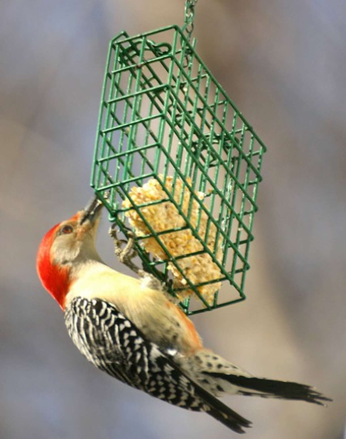 Photo by CHRIS BOSAK Red-bellied woodpeckers have loud, odd calls. Note the red feathers on the belly of the bird, hence its name.