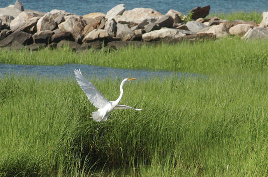 Snowy Egret at Calf Pasture Beach. / (C)2011, The Hour Newspapers, all rights reserved