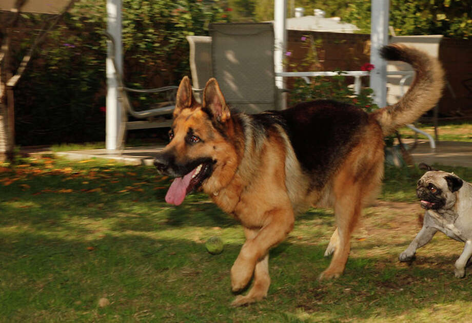 In this Wednesday, Nov. 16, 2011 photo, Luis Calderon's German shepherd, Buddy, and his wife's dog, Lola, right, run in El Monte, Calif. Calderon, a self-employed handyman, has a wife and two kids and says work is scarce. If Buddy needed a vet, Calderon says he would have to go through public services or use credit. (AP Photo/Damian Dovarganes) / AP