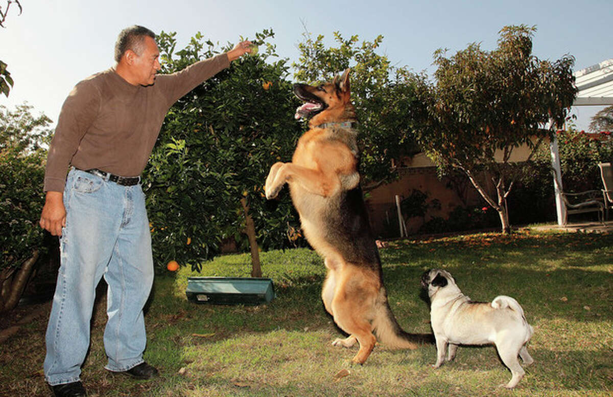 This Wednesday, Nov. 16, 2011 photo shows Luis Calderon as he plays with his German shepherd, Buddy, center, and his wife's dog Lola, right, in El Monte, Calif. Calderon, a self-employed handyman, has a wife and two kids and says work is scarce. If Buddy needed a vet, Calderon says he would have to go through public services or use credit. (AP Photo/Damian Dovarganes)