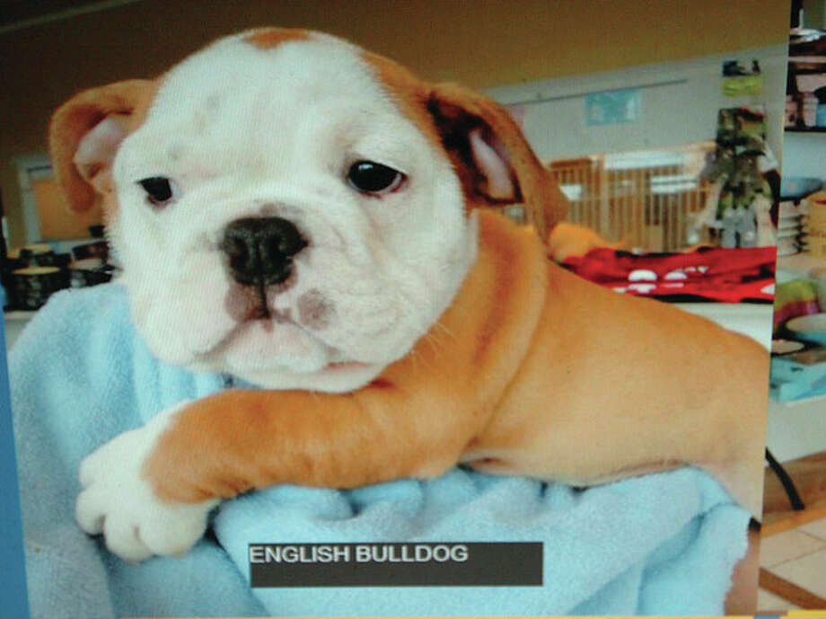 Hour Photo/ Alex von Kleydorff. This male English Bulldog was stolen from Puppies of Westport on Monday morning / 2012 The Hour Newspapers