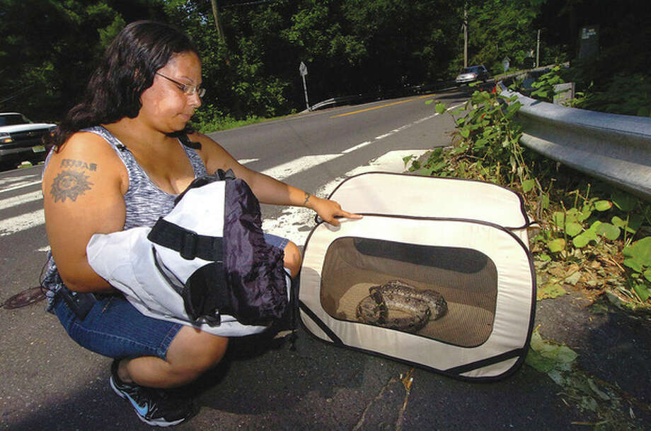 Hour Photo/Alex von Kleydorff. Lydia Rivera, the fiance of Reptile handler for the city Eric Davis holds a Ball Python in a temporary cage after the 5 ft snake that was released by its owner into the woods and expired form dehydration along New Cannann Ave Monday morning. / 2011 The Hour Newspapers