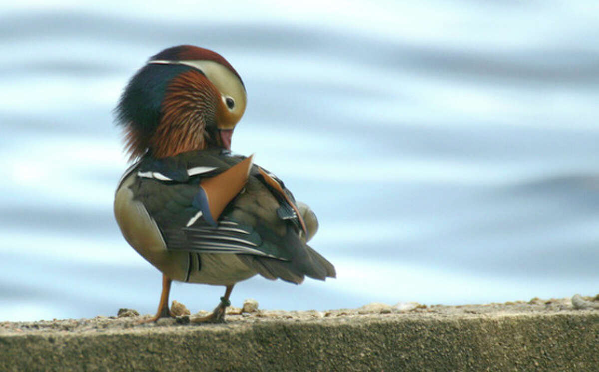 Photo by Chris Bosak A Mandarin Duck preens itself at Holly Pond in Stamford. This non-native species is rarely seen in the Northeast.