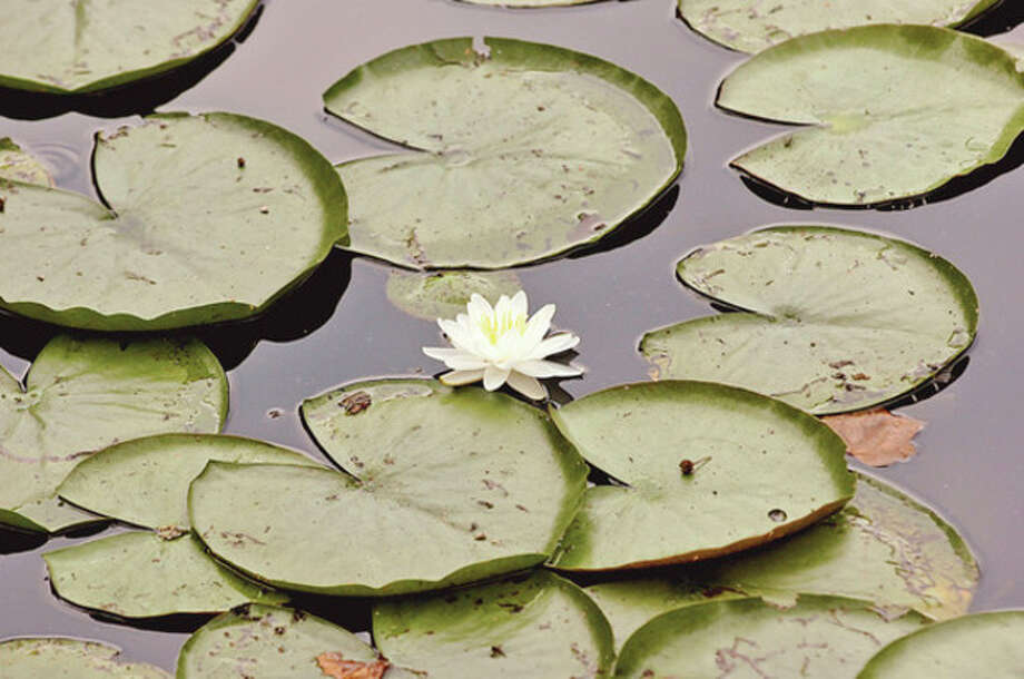 Lily pads at Horseshoe Pond in Wilton. Volunteers cleaned out the vegetation by hand as part of Operation Lily Pad organized by Wiklton resident Anne Deware Saturday.Hour photo / Erik Trautmann / (C)2012, The Hour Newspapers, all rights reserved