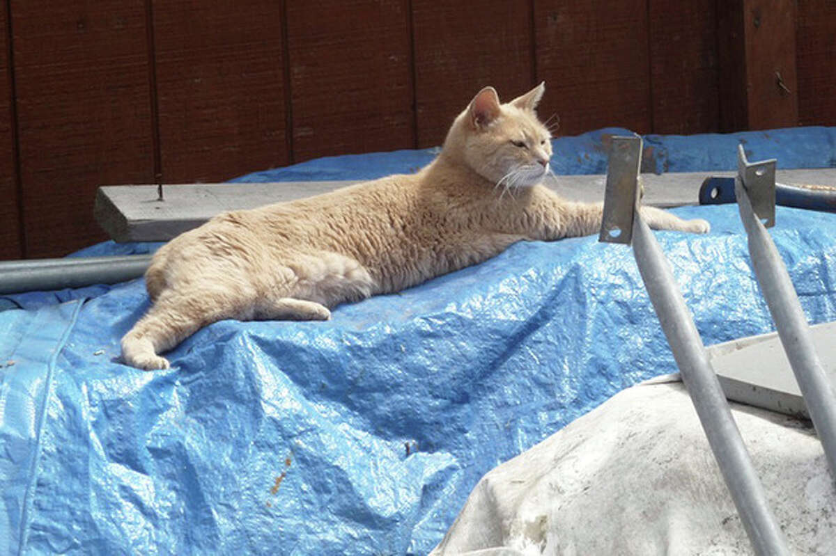 In this Wednesday, July 11, 2012 photo provided by Sandy Bubar, a cat named Stubbs lies on a tarp in an alley in Talkeetna, Alaska. Locals know him as Mayor Stubbs, a 15-year-old yellow cat who has been overseeing the town since shortly after he was born. KTUU-TV reports that residents didn't like the candidates who were running for mayor years ago, so they encouraged enough people to elect Stubbs as a write-in candidate. Talkeetna is at the base of Mount McKinley and has nearly 900 residents. (AP Photo/Sandy Bubar)