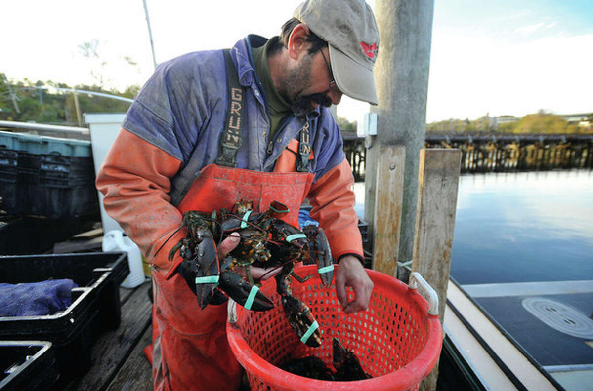 AP photo / Jessica Hill In this Oct. 28 photo, lobsterman Mike Theiler pulls his harvest out of a basket on a dock in New London. Only about 30 full-time lobstermen are left in Connecticut, down from more than 300 in the years before a devastating die-off in 1999.