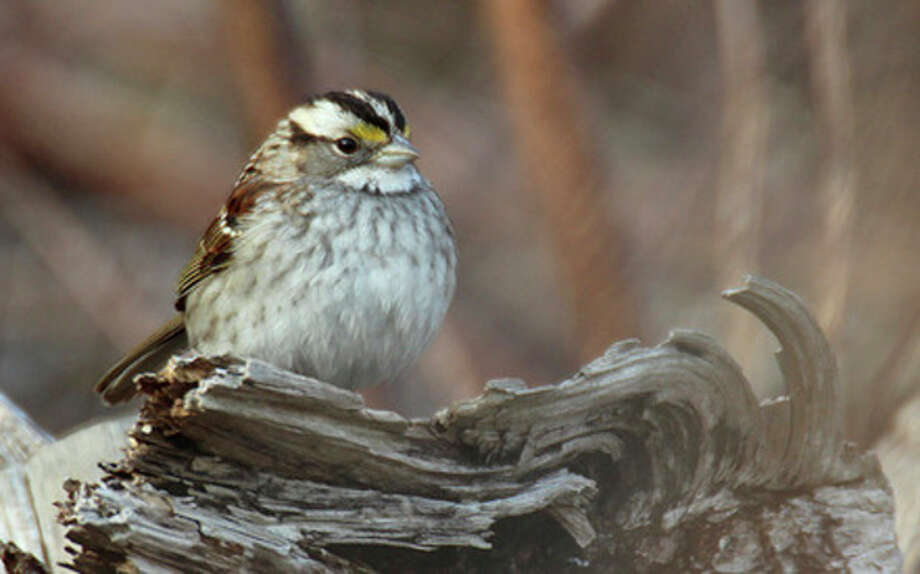 Photo by Chris BosakA White-throated Sparrow rests on a log this spring.