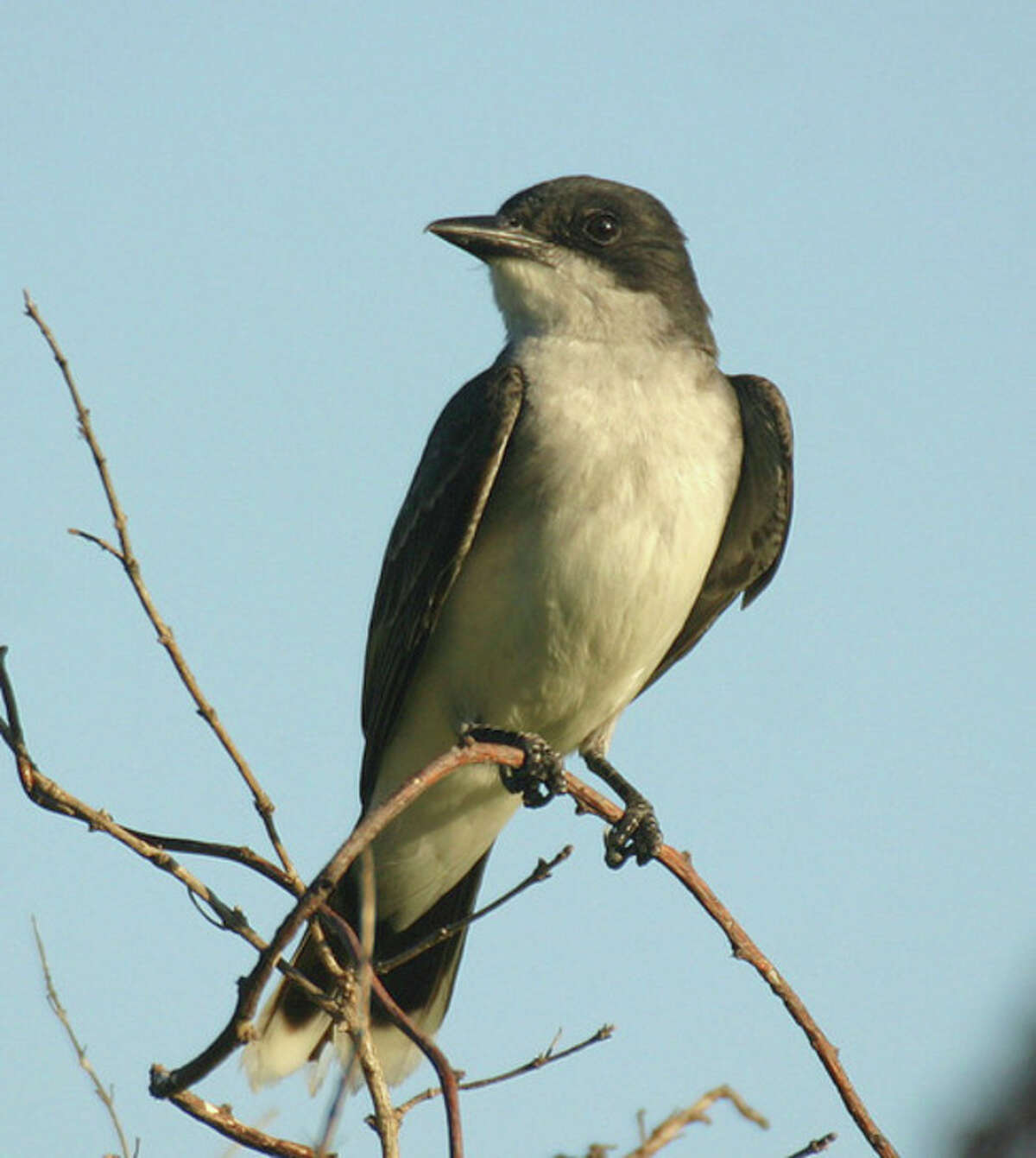 Hour photo/Chris Bosak An Eastern Kingbird searches for insects at Cove Island Wildlife Sanctuary.