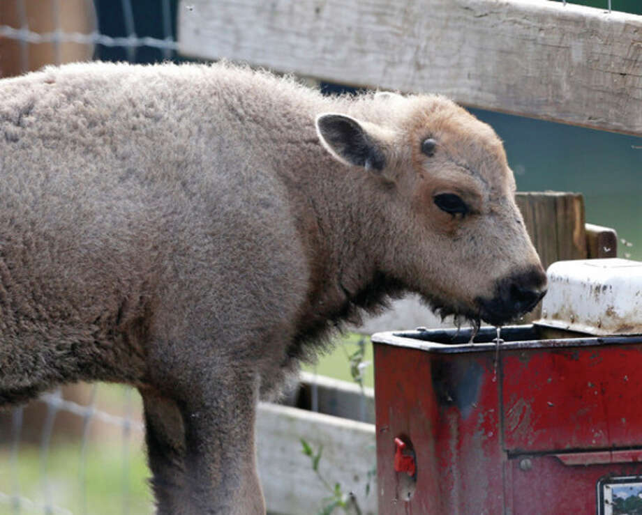 A white bison calf drinks water at the Mohawk Bison farm in Goshen, Conn., on Wednesday, July 18, 2012. Hundreds of people, including tribal elders from South Dakota, are expected to attend naming ceremonies later this month at the Goshen farm where the animal was born on June 16. (AP Photo/Mike Groll) / AP