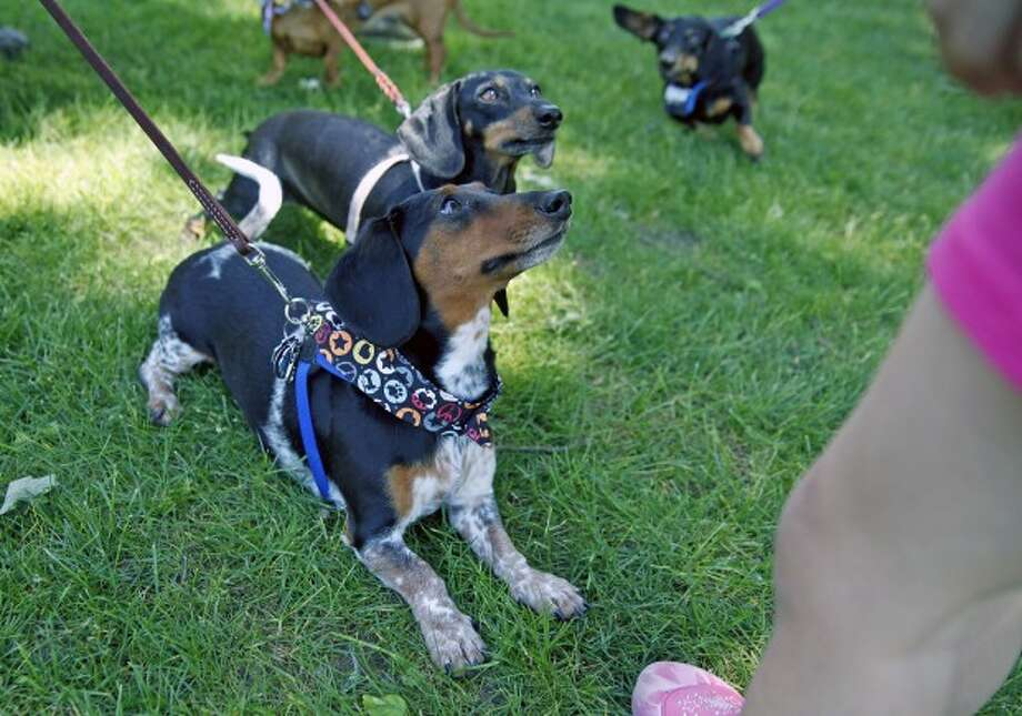 Brady waits for a treat during the 13th annual Dachshund Reunion held at Jesup Green in Westport Saturday afternoon. Hour Photo / Danielle Robinson