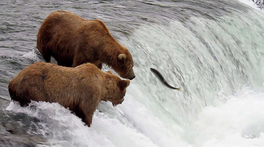 In this photo taken July 17, 2012 and provided by explore.org, brown bears are shown catching salmon at Brooks Falls, Katmai National Park in Alaska. A new video initiative will bring the famed brown bears of the park directly to your computer or smartphone. In a partnership with explore.org, a live webstream will be unveiled Tuesday that will allow the public to log on and see the brown bears in their natural habitat, including views of the bears catching salmon at Brooks Falls. (AP Photo/explore.org, Tahitia Hicks) / explore.org