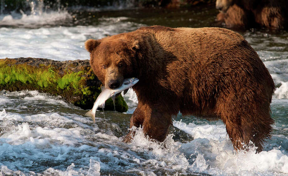 In this photo taken July 17, 2012 and provided by explore.org, a brown bear catches a salmon at Brooks Falls, Katmai National Park in Alaska. A new video initiative will bring the famed brown bears of the park directly to your computer or smartphone. In a partnership with explore.org, a live webstream will be unveiled Tuesday that will allow the public to log on and see the brown bears in their natural habitat, including views of the bears catching salmon at Brooks Falls. (AP Photo/explore.org, Tahitia Hicks) / explore.org