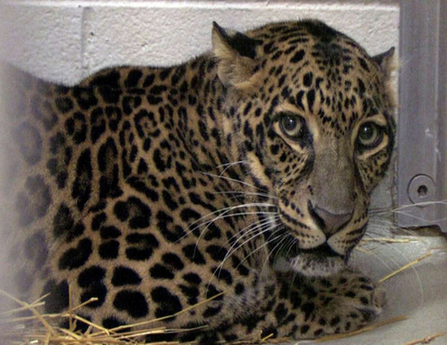 This photo provided by the Columbus Zoo and Aquarium shows one of three leopards that were captured by authorities Wednesday, a day after their owner released dozens of wild animals and then killed himself near Zanesville, Ohio. Sheriff's deputies shot and killed 48 of the animals, including 18 rare Bengal tigers, 17 lions, six black bears, two grizzly bears, a baboon, a wolf and three mountain lions. Six of the released animals - three leopards, a bear and two monkeys - were captured and taken to the Columbus Zoo. (AP Photo/Columbus Zoo and Aquarium, Grahm S. Jones) / Columbus Zoo and Aquarium