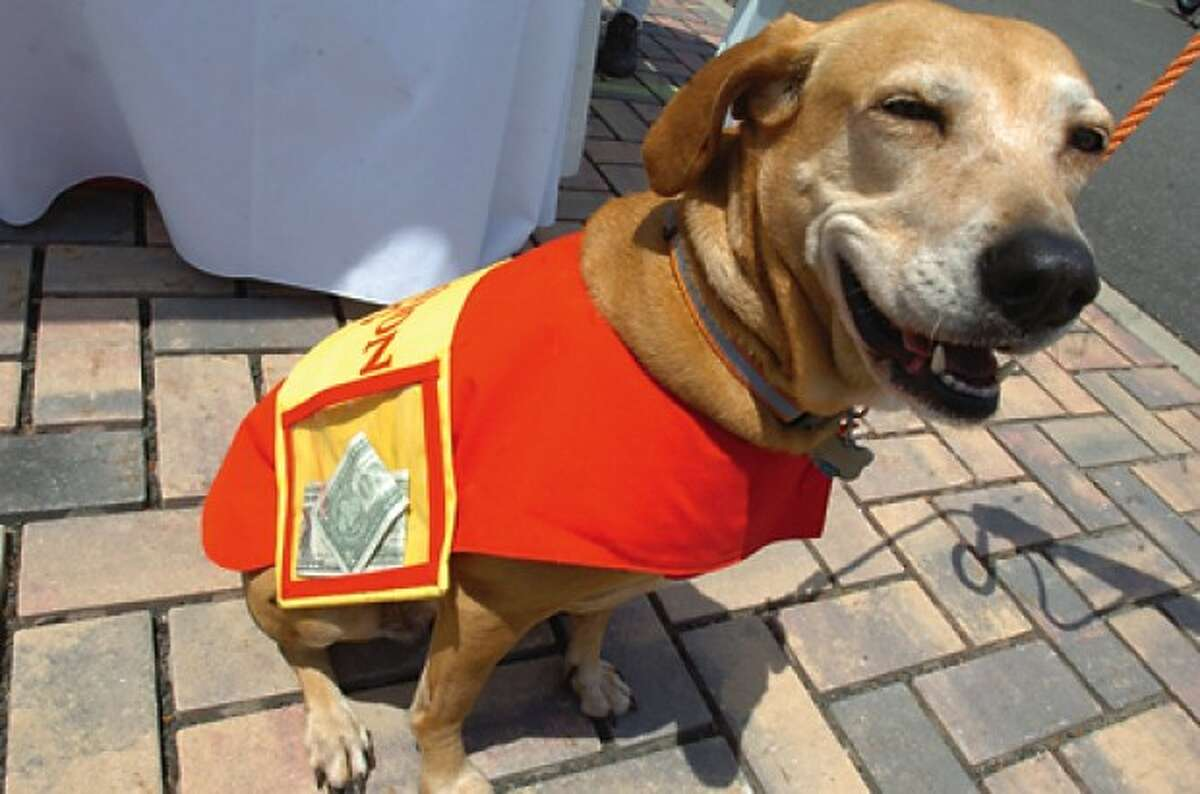 Katie the donation dog collects funds in her coat for the BooZoo''s Canine Carnival at Stepping Stones Museum on Sunday. hour photo/matthew vinci