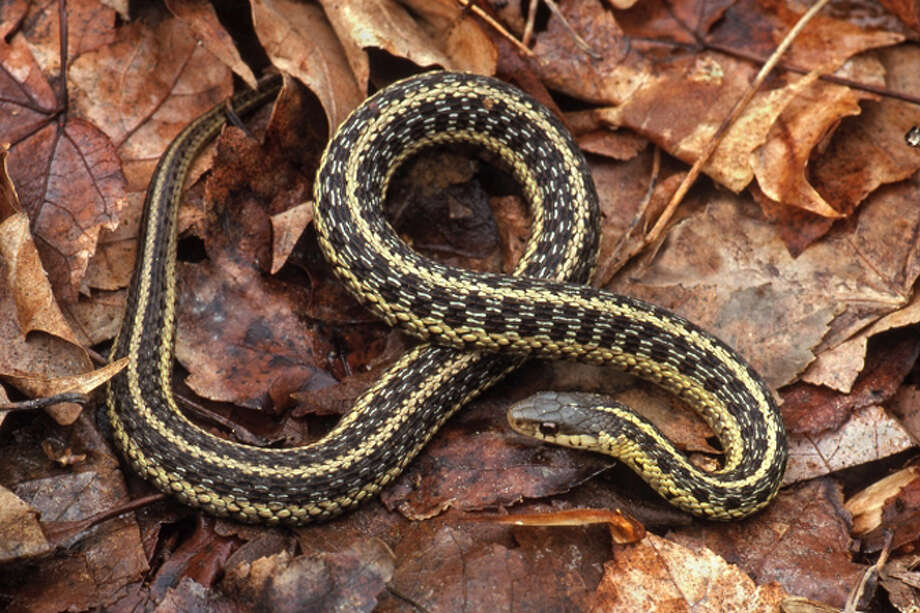 Photo by Paul J. Fusco, DEEP Wildlife DivisionThe gartersnake is perhaps the most common, widely distributed, and familiar of all North American snakes.  It is found throughout Connecticut, sometimes in yards and even in urban areas.