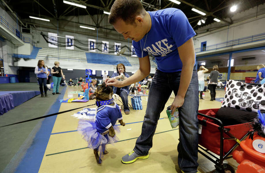 Dustin Reese, of Des Moines, Iowa, gives a treat to Fat Amy during the 34th annual Drake Relays Beautiful Bulldog Contest, Monday, April 22, 2013, in Des Moines, Iowa. The pageant kicks off the Drake Relays festivities at Drake University where a bulldog is the mascot. (AP Photo/Charlie Neibergall) / AP