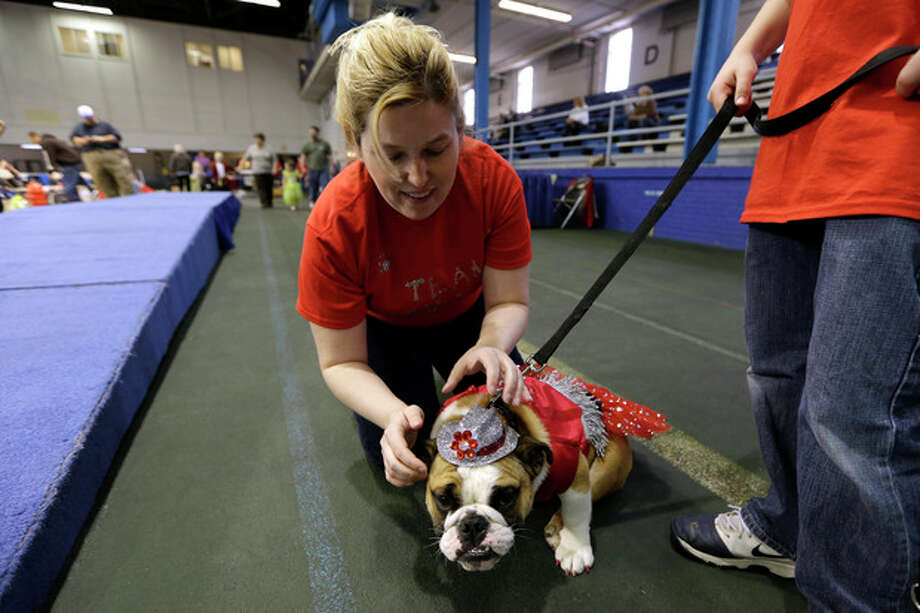 Laura Kares, of Omaha, Neb., puts a hat on her bulldog Molly during the 34th annual Drake Relays Beautiful Bulldog Contest, Monday, April 22, 2013, in Des Moines, Iowa. The pageant kicks off the Drake Relays festivities at Drake University where a bulldog is the mascot. (AP Photo/Charlie Neibergall) / AP
