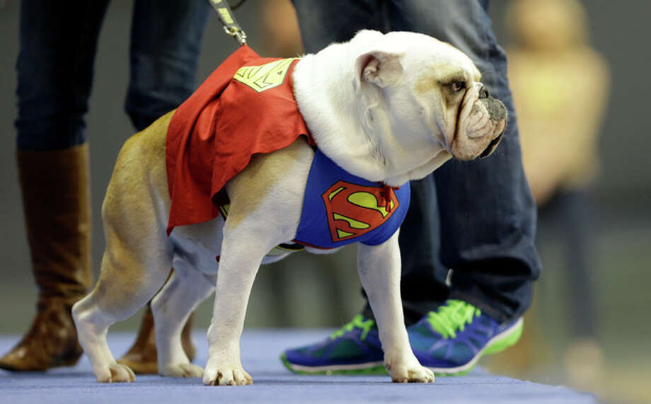Buster, owned by Tara Walter, of West Des Moines, Iowa, walks on stage during the 34th annual Drake Relays Beautiful Bulldog Contest, Monday, April 22, 2013, in Des Moines, Iowa. The pageant kicks off the Drake Relays festivities at Drake University where a bulldog is the mascot. (AP Photo/Charlie Neibergall) / AP