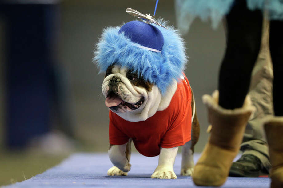 Capone Sabotage, owned by Brad Knudson, of Center Point, Iowa, walks across stage during the 34th annual Drake Relays Beautiful Bulldog Contest, Monday, April 22, 2013, in Des Moines, Iowa. The pageant kicks off the Drake Relays festivities at Drake University where a bulldog is the mascot. (AP Photo/Charlie Neibergall) / AP