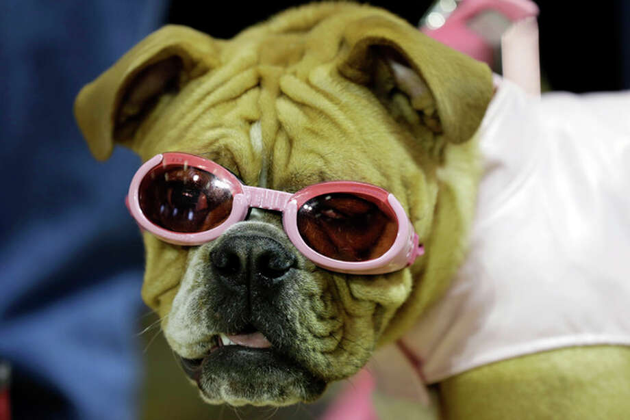 Harley waits to be judged during the 34th annual Drake Relays Beautiful Bulldog Contest, Monday, April 22, 2013, in Des Moines, Iowa. The pageant kicks off the Drake Relays festivities at Drake University where a bulldog is the mascot. (AP Photo/Charlie Neibergall) / AP