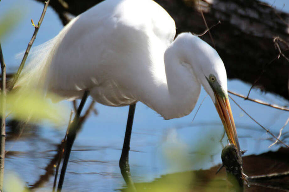 Photo by Chris BosakGreat Egret eating catfish at Woods Pond in Norwalk, April 2013.