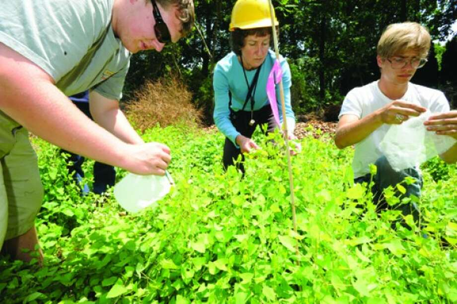 Donna Ellis, Senior Extension Educator with University of Connecticut College of Agriculture and Natural Resources, spreads weevil bugs that feed on the invasive Mile- a-minute vines growing in the area of Connecticut Light and Power. On the left is Zach Brown, research assistant, and Andrew Brown, a student at UConn. hour photo/matthew vinci