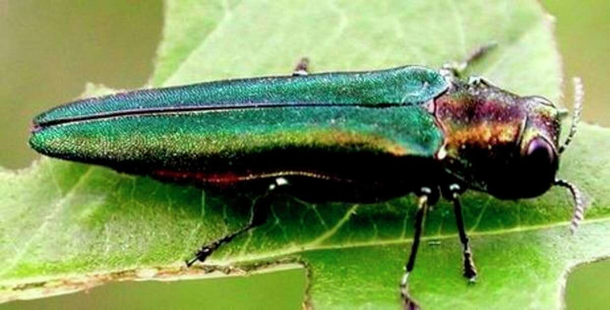 Contributed photo The emeral ash borer, a beetle native to Asia, has destroyed tens of millions of trees across the country, according to a report by the Norwalk Tree Alliance.