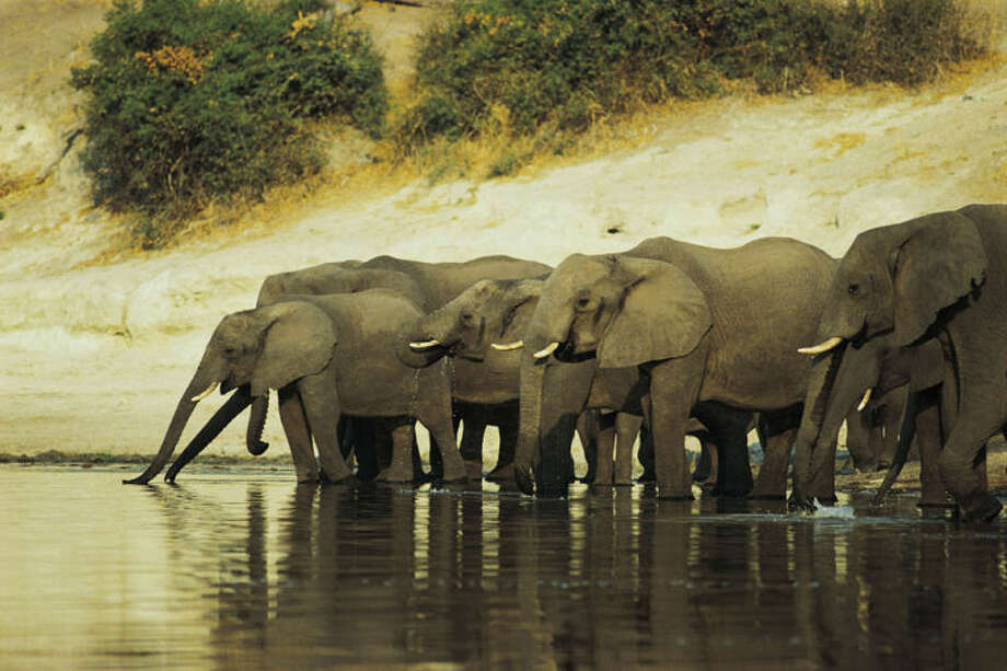 Comstock Ê A century ago some five millions wild elephants roamed Africa. Today fewer than 500,000 remain, a result of poaching for meat and ivory as well as habitat loss due to expanding human development.
